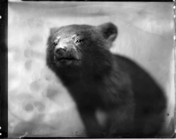 Bear Cub, Photograph, Photograph, 16 x 20 inches (Edition of 5) $800, 40 x 32 inches (Edition of 2), $1500, 2011