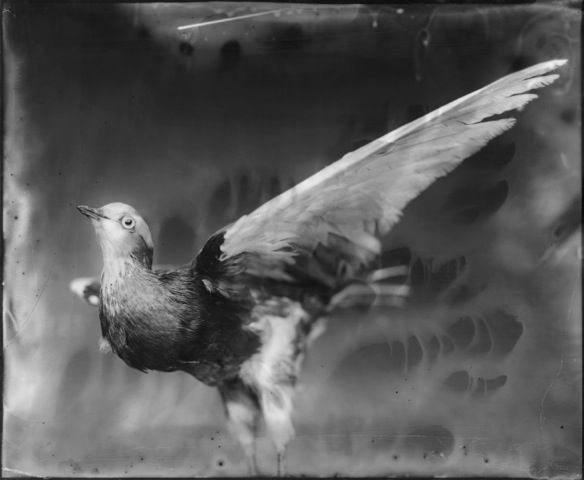 Dove, Photograph, Photograph, 16 x 20 inches (Edition of 5) $800, 40 x 32 inches (Edition of 3), $1500, 2011