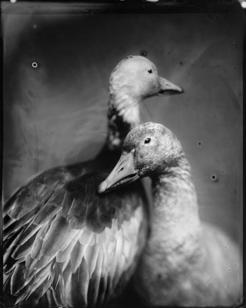Geese, Photograph, Photograph, 16 x 20 inches (Edition of 5) $800, 40 x 32 inches (Edition of 2), $1500, 2011