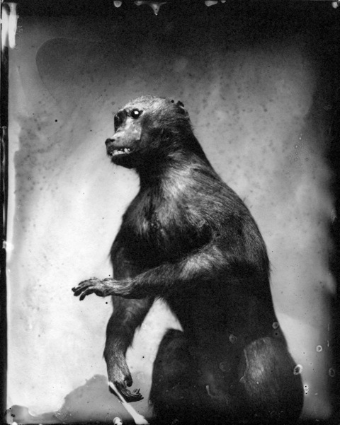 Baboon, Photograph, Photograph, 16 x 20 inches (Edition of 5) $800, 40 x 32 inches (Edition of 3), $1500, 2011