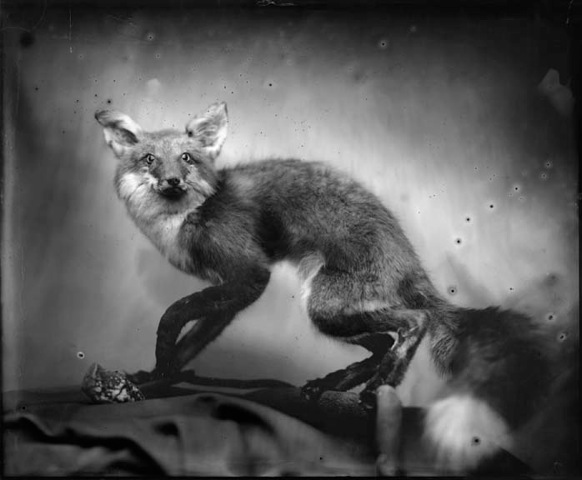 Fox, Photograph, 16 x 20 inches (Edition of 5) $800, 40 x 32 inches (Edition of 3), $1500, 2011 / Large Edition Sold Out.