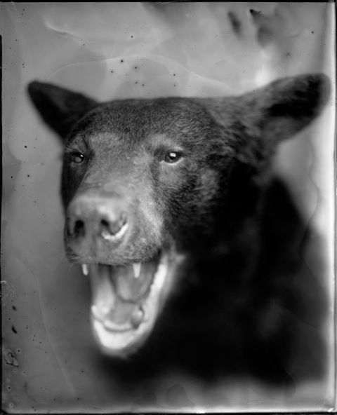 Bear, Photograph, 16 x 20 inches (Edition of 5) $800, 40 x 32 inches (Edition of 3), $1500, 2011