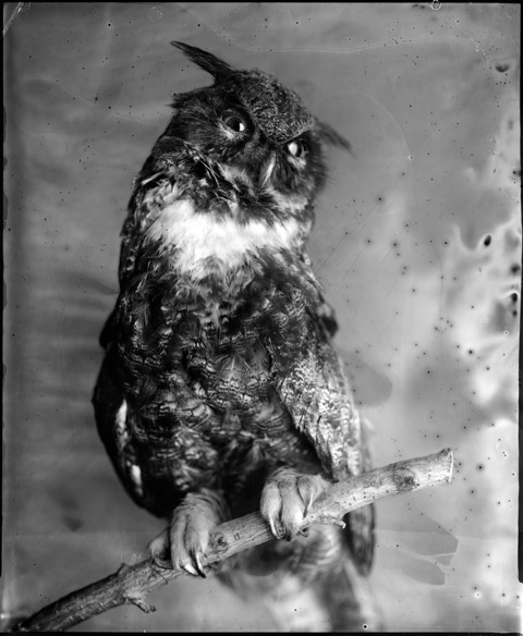 Dark Owl, Photograph, 16 x 20 inches (Edition of 5) $800, 40 x 32 inches (Edition of 3), $1500, 2011