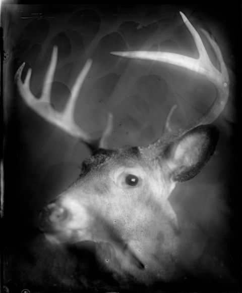 Buck, Photograph, 16 x 20 inches (Edition of 5) $800, 40 x 32 inches (Edition of 3), $1500, 2011