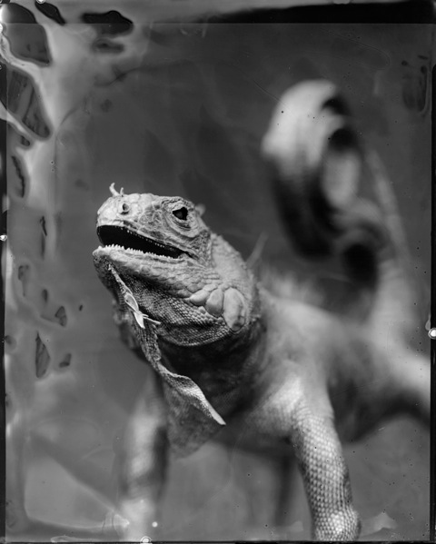 Iguana, Photograph, 16 x 20 inches (Edition of 5) $800, 40 x 32 inches (Edition of 3), $1500, 2011