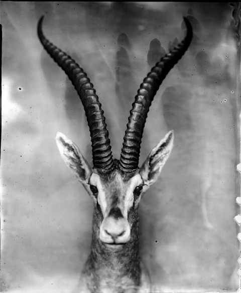 Impala, Photograph, 16 x 20 inches (Edition of 5) $800, 40 x 32 inches (Edition of 3), $1500, 2011