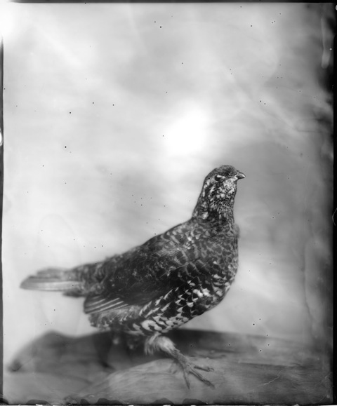 Pheasant, Photograph, 16 x 20 inches (Edition of 5) $800, 40 x 32 inches (Edition of 3), $1500, 2011
